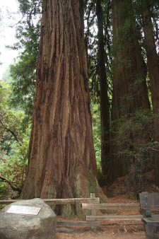 Pinchot Tree, Muir Woods, Kalifornien