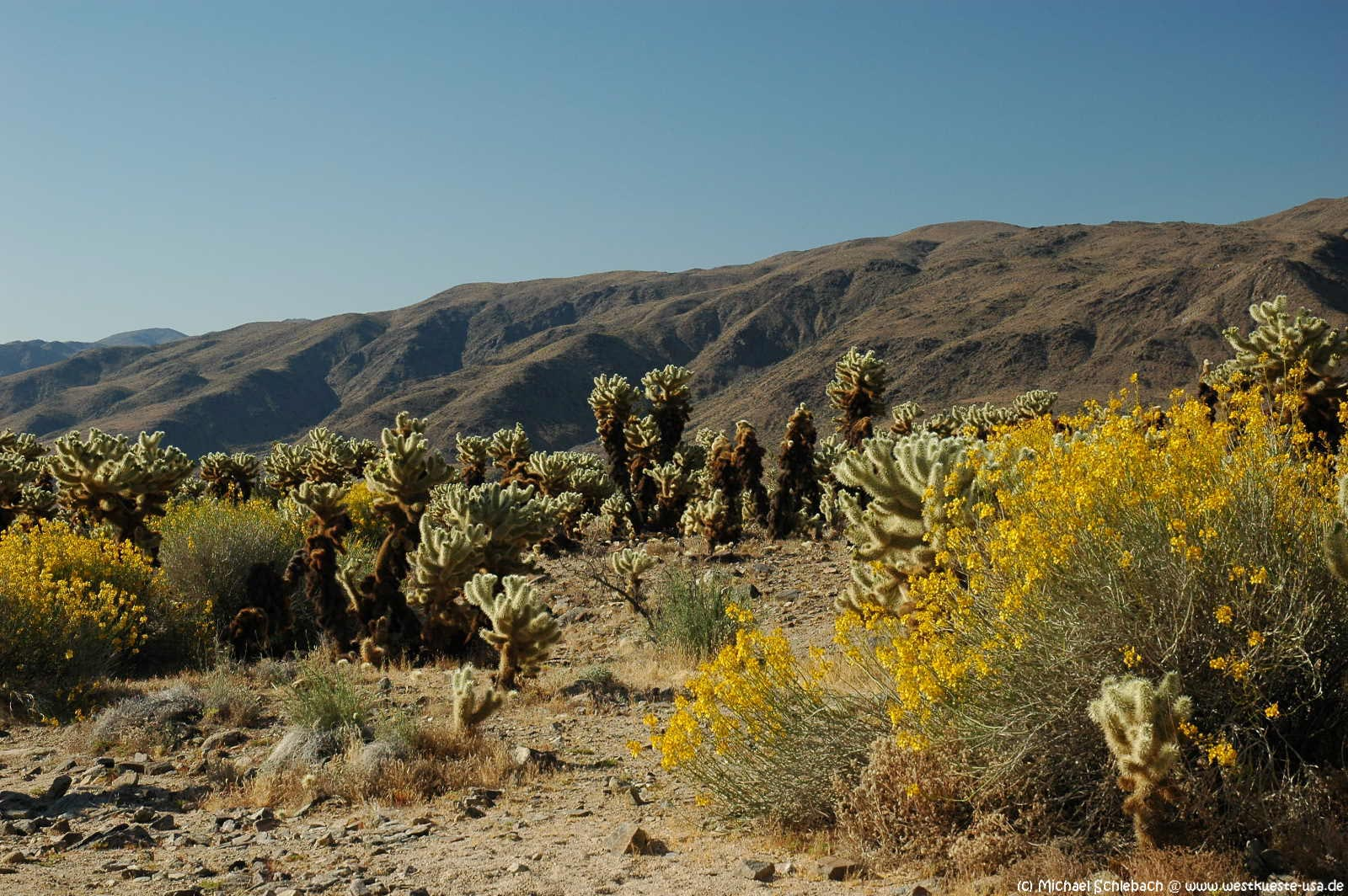 Cholla Cactus Garden Kakteengarten Im Joshua Tree Nationalpark
